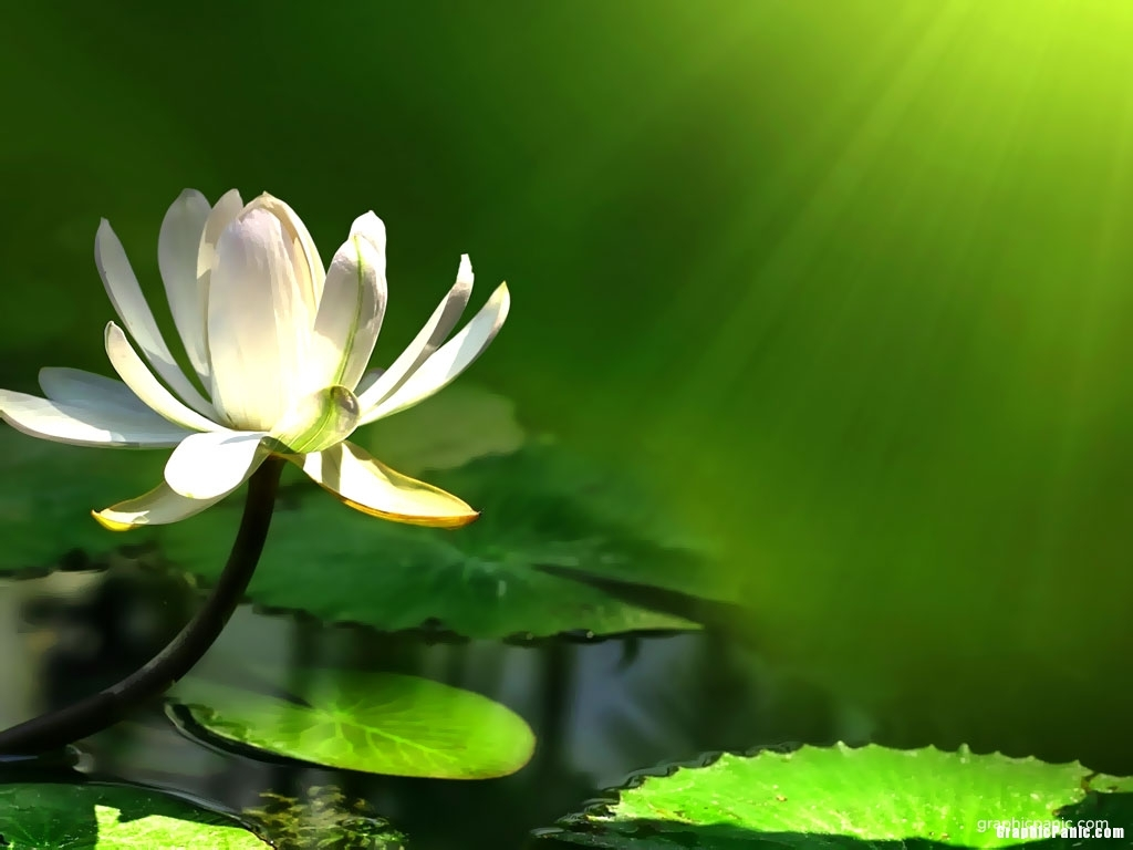 Lotus flower background graphicpanic lotus flower background mightylinksfo