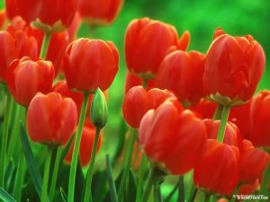 red tulip background