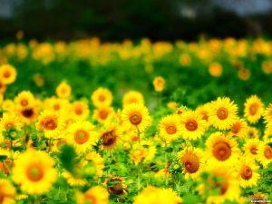 Sun Flower Powerpoint Slide Template