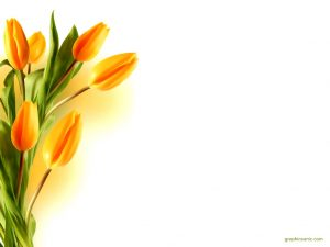 yellow tulip background
